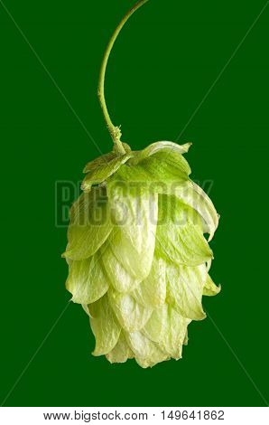 Hop flower seed cone on green background. Hop plant Humulus lupulus, used as a flavoring and stability agent in beer and as a herbal medicine. Macro food photo close up.