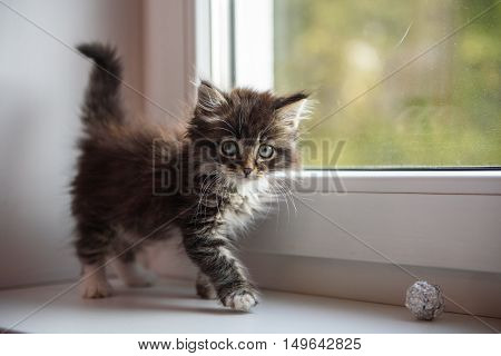 shaggy kitten playing on the windowsill in the morning playing with a ball
