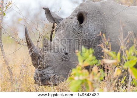 White Rhino Close Up And Portrait With Details Of The Horns, The Cause Of Poaching And Threaten. Big