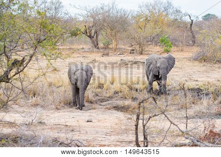 Adult And Young African Elephants Walking In The Bush. Wildlife Safari In The Kruger National Park,