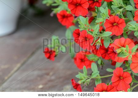 Red Flower Petunia Wallpaper. Red Petunia Flowers In The Garden On Wooden Floor In Summer. .