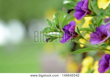 Mix Flower Petunia Wallpaper. Mix Of Petunia Flowers In The Garden On Blurred Background..