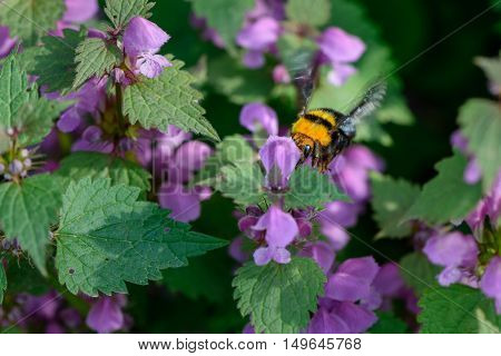 Bumble-bee Sitting On Flowers. Vivid Close-up With One Bee Within Summer Flowers. .