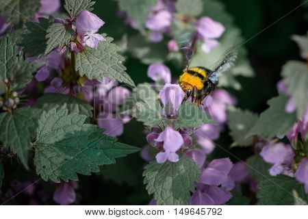 Bumble-bee Sitting On Flowers. Close-up With One Bee Within Summer Flowers. .