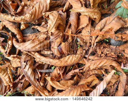 Brown chestnut and chestnut peel with needles on yellow leaves