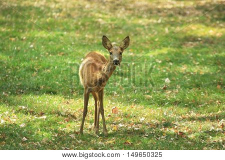 Young deer female stands wary on the green meadow with dry fallen foliage