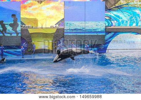 Orlando, Florida, United States - April 22, 2012: Tilikum, the killer whale, jumping in the shamu show at Seaworld. Tilikum is the largest and most famous orca hosted at Seaworld.