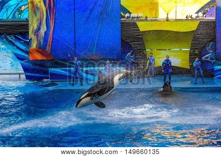 Orlando, Florida, USA - April 22, 2012: Tilikum, the killer whale, performs in the shamu show at Seaworld. The orca is popular for the documentary Blackfish.