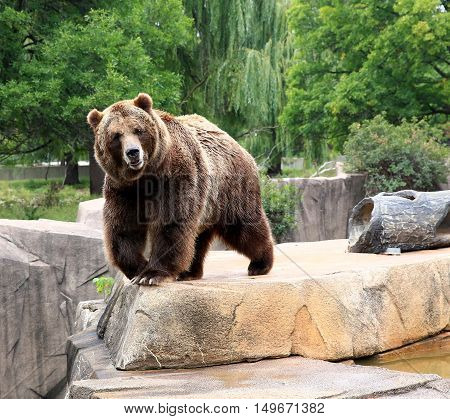 North American Brown bear striding along rocky ledge out cropping
