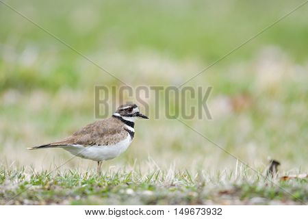 Killdeer foraging on a grassy shore in the spring
