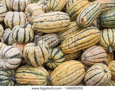 Harvest: Heap of US American Delicata Squash peanut squash Cucurbita pepo