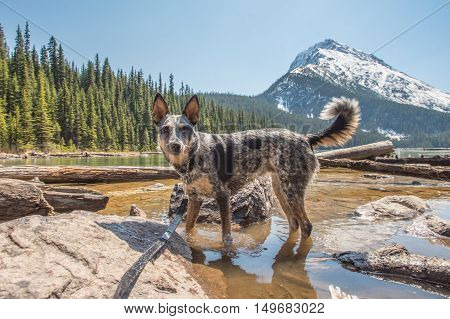 Hiking Dog