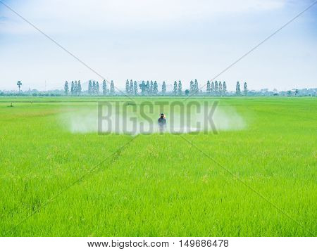 Farmer spray pesticides in the rice growing