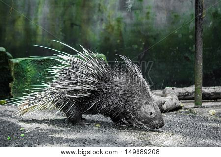 Porcupine Walking On The Ground.