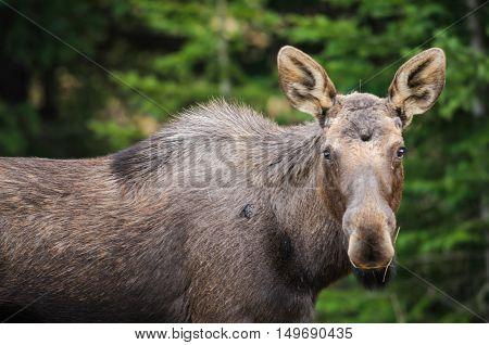 Wild Moose (alces Alces)