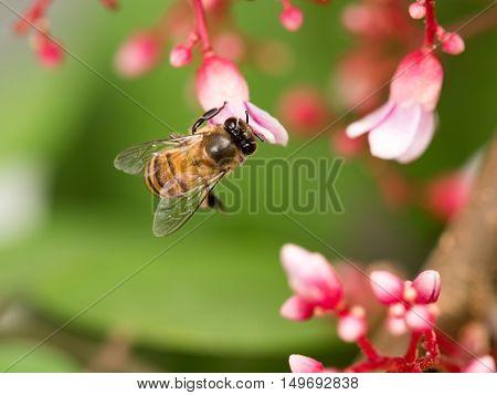 Defocus blurred Closeup macro honey bee on pink flower with blur green nature in background.