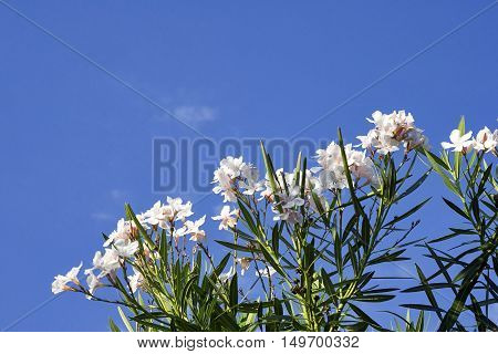 detail of white oleander in a garden