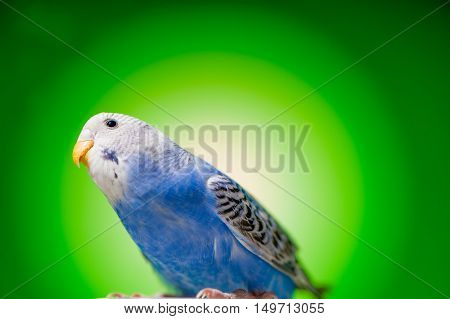one blue parrot budgies.bird on the green background.