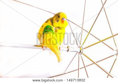 one yellow parrot budgies.Bird sit on the white umbrela.