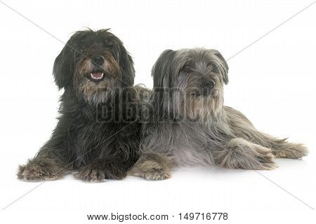 pyrenean shepherds in front of white background