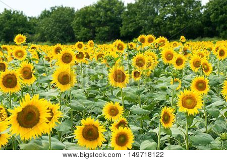 Field with sunflowers. Sunflower is an annual flowering plant. Used for the production of vegetable oil, margarine, mayonnaise, polish and soap.