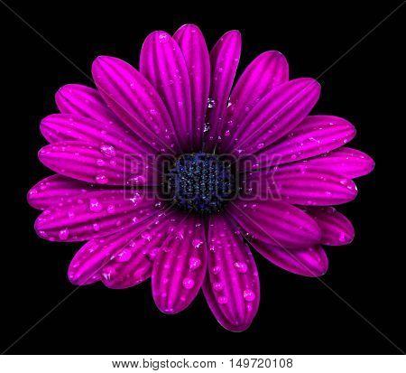 Purple osteospermum daisy flower isolated over black background.