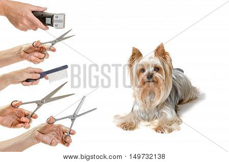 Cute Yorkshire Terrier is lying and looking at the camera. Hands holding a variety of equipment for grooming are in the left side of the photo. All is isolated on the white background.
