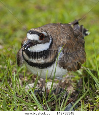 Killdeer that is staying close to its eggs on the grass