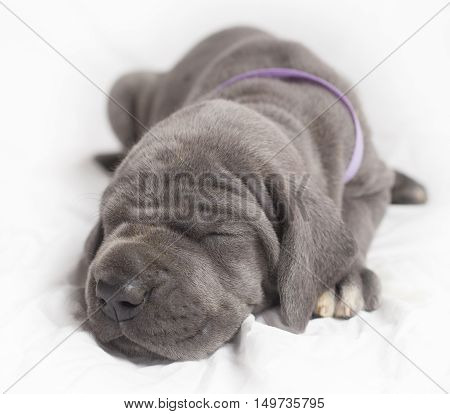 Blue Great Dane puppy on white that is taking a nap
