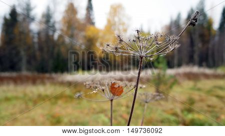 Autumn wilting. Grey plants on yellow meadow