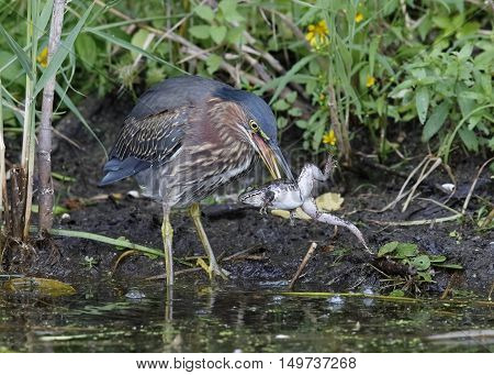 Green Heron Eating A Green Frog