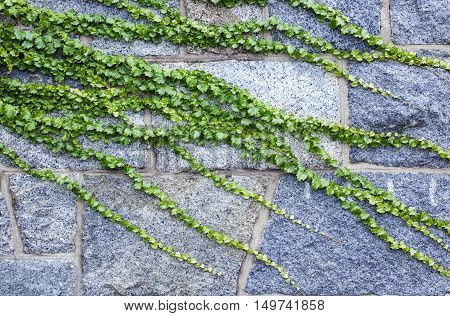 old stone wall overgrown with ivy. ancient brick wall and ivy. texture, background