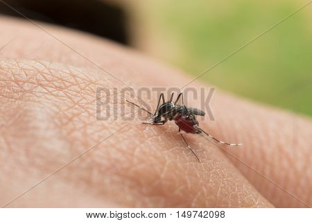 Aedes Aegypti. Close Up A Mosquito Sucking Human Blood.