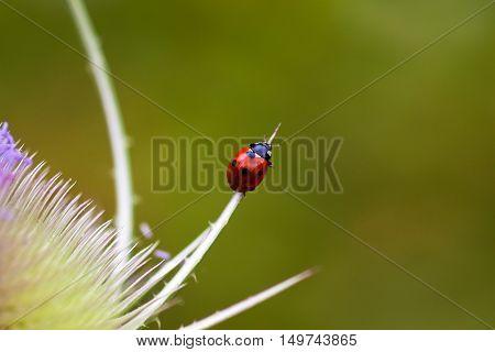 Ladybug on the dipsacus fullonum. Macro photography of wildlife.