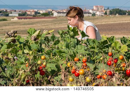 blond peasant collect tomatos in vegetable garden