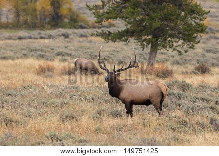 a big bull elk in a meadow during the fall rut