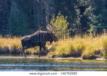 a shiras bull moose crossing a river in fall during the rut