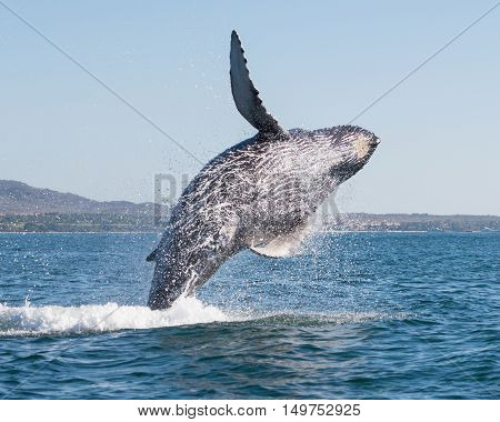 A happy whale breaches close to shore