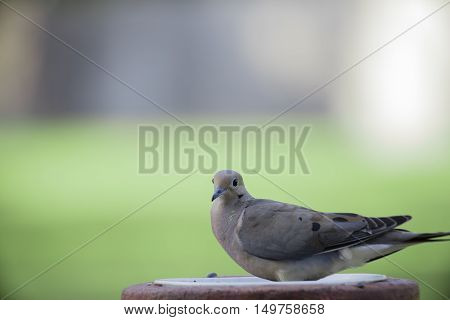 Image of Mourning Dove Sitting on Firepit