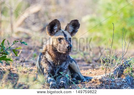Close Up And Portrait Of A Cute Wild Dog Or Lycaon Lying Down In The Bush. Wildlife Safari In Kruger