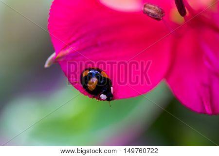 Black ladybug on the flower. Macro photography of wildlife.