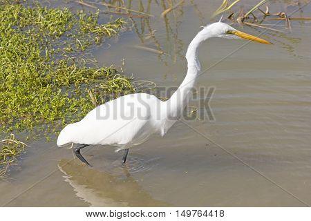 Great Egret on the Hunt in a Wetland on the Texas Gulf Coast near Port Aransas
