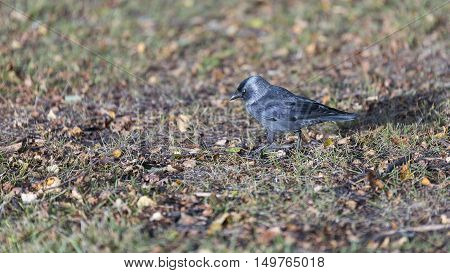 A Western Jackdaw Walking on Grass.´with Autumn Leaves.