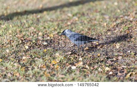 A Western Jackdaw Walking on Grass with fall leaves