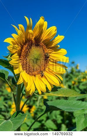 sunflower field at Outhouse Orchard North Salem NY