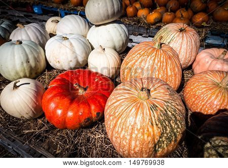Pumpkins on a table at the Outhouse Orchard North Salem NY