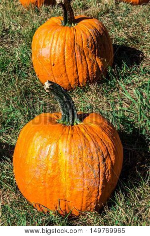 Pair of pumpkins in a field at Outhouse Orchard North Salem NY