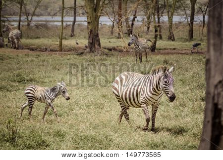 A mother and baby zebra on the african savanna