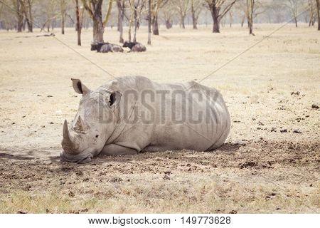 A large tired rhinoceros sleeps on the african savanna