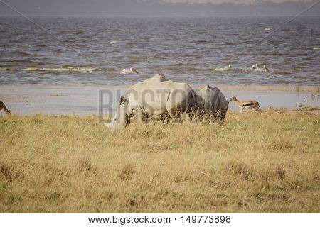 A large rhinoceros grazes on the african savanna
